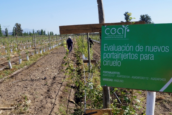 CEAF evalúa portainjertos en huertos de productores